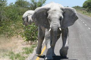 Namibie klimaat olifanten rennend op weg reiseditie 300x200 - Namibie_klimaat_olifanten_rennend_op_weg_reiseditie