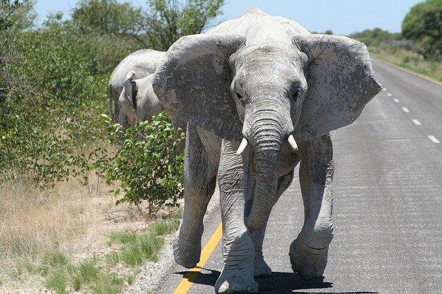 Namibie_klimaat_olifanten_rennend_op_weg_reiseditie
